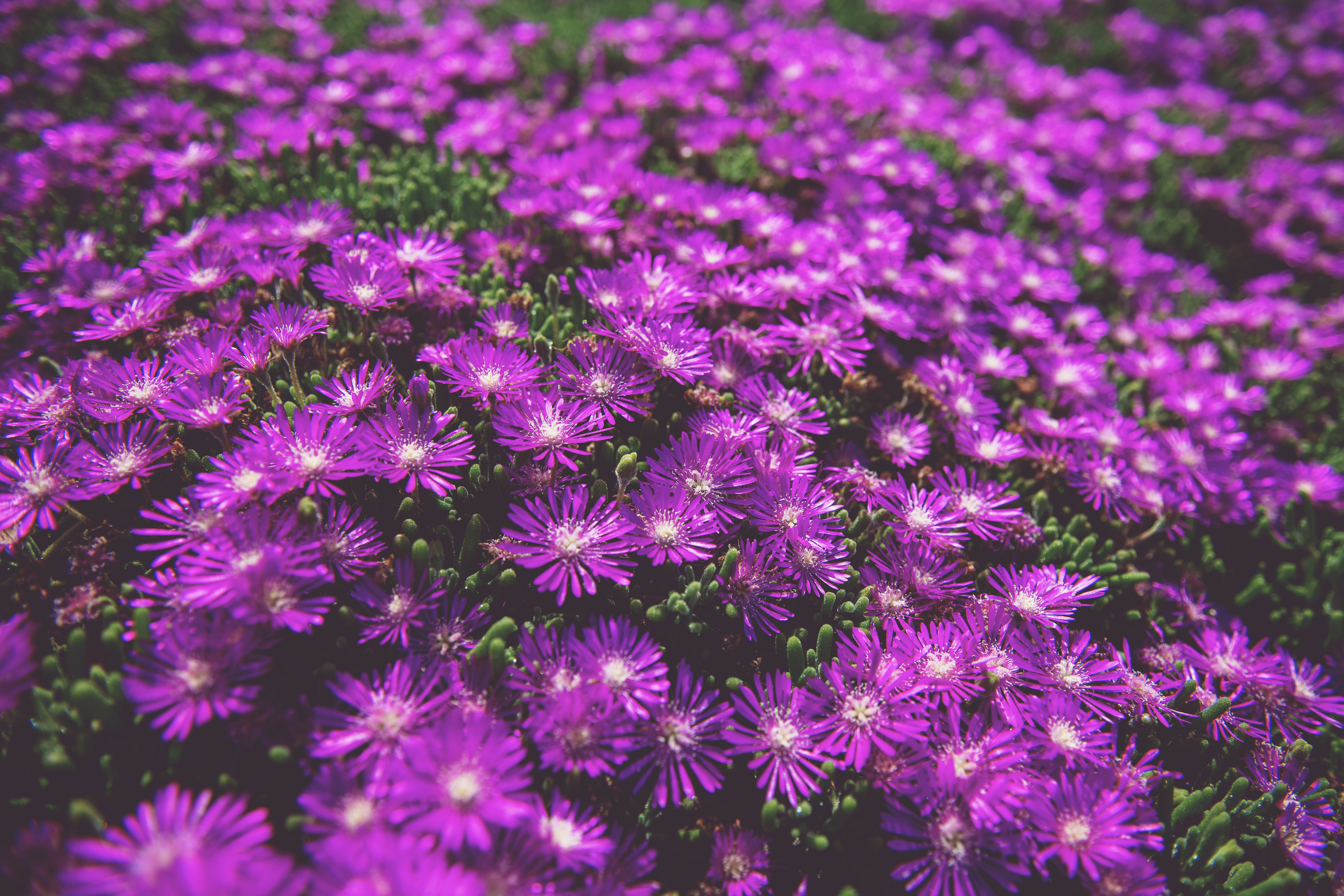 Photo of Purple Daisies