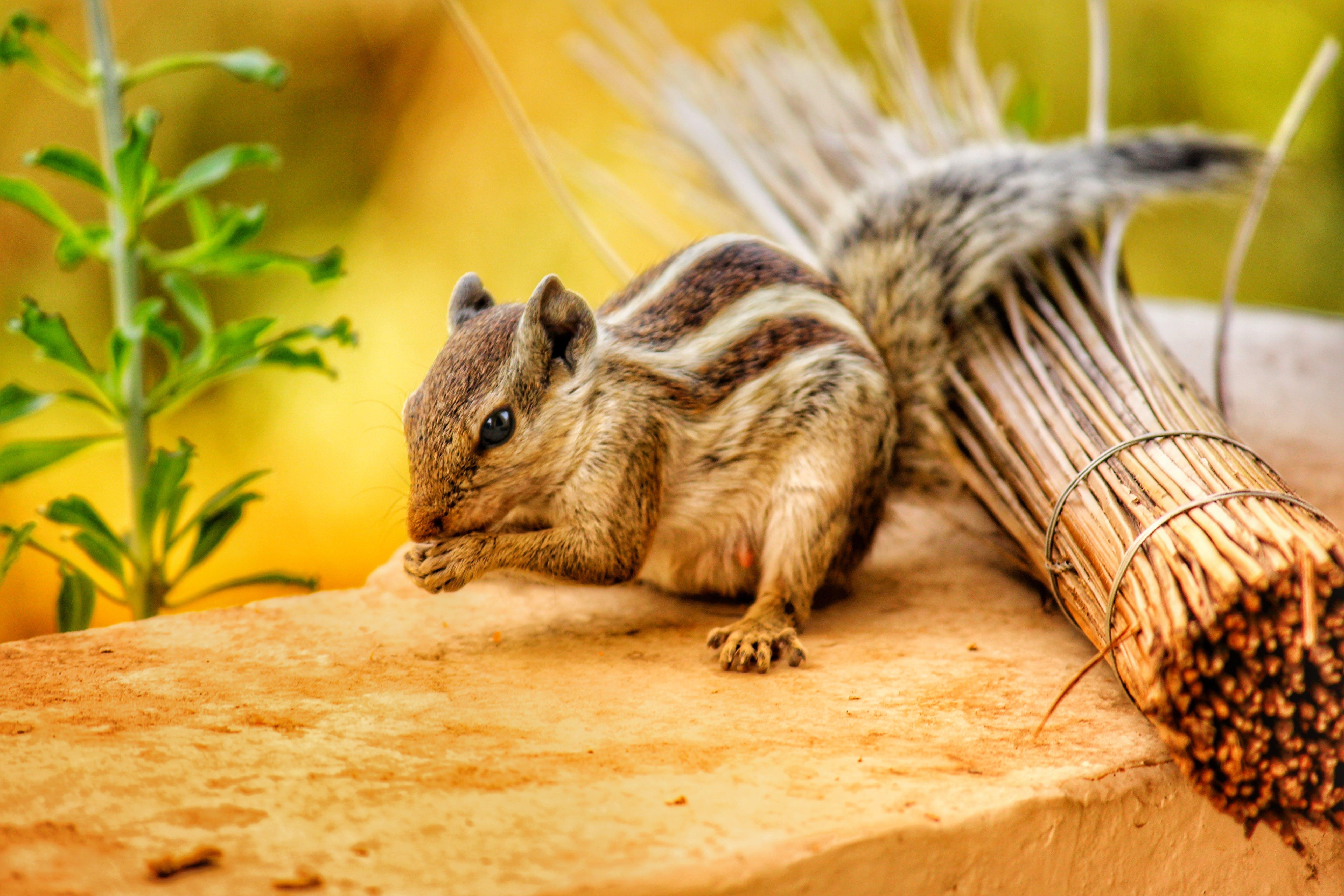 Gratis stockfoto met beest, chipmunk, close-up, concentratie