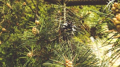 Gratis lagerfoto af arboret, grøn, jogl, kegle