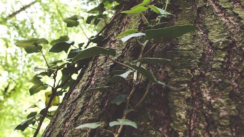 Foto d'estoc gratuïta de alpinista, arbre, arbres, bosc