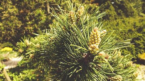 Gratis lagerfoto af arboret, grøn, jogl, nåle