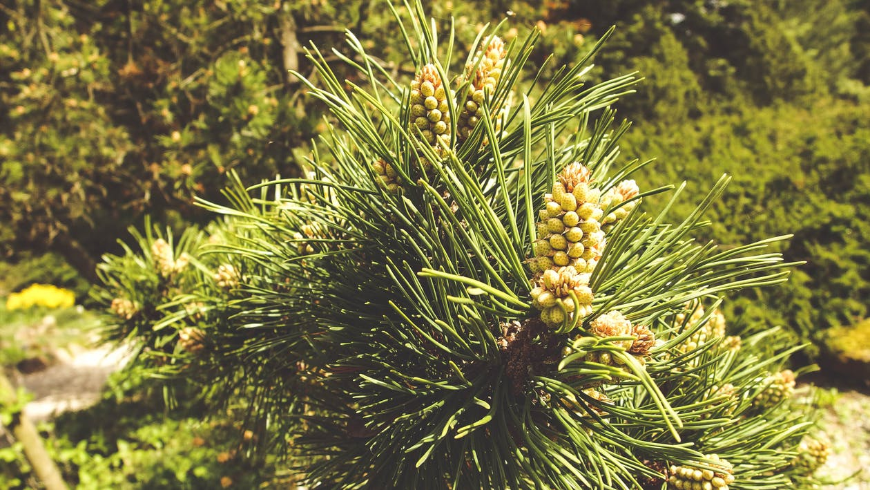 acícules, agulles, arboretum