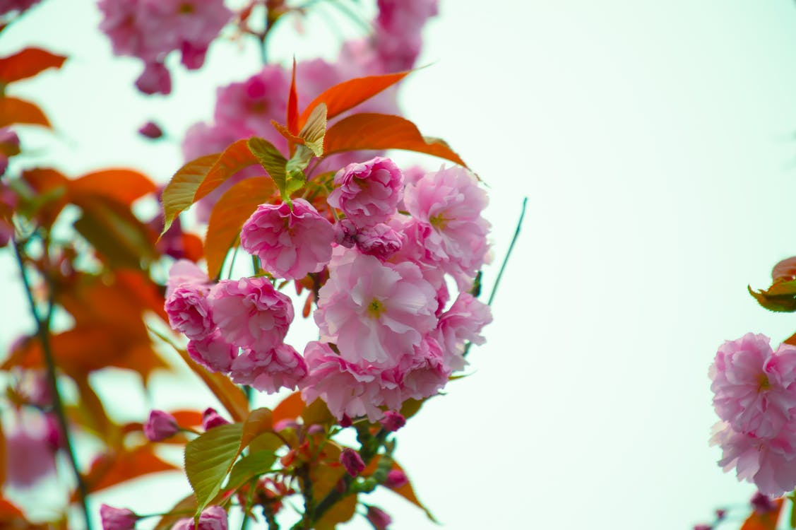 Close-Up Photography of Pink Flowers