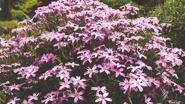 Purple 5 Petal Flower Image during Daytime
