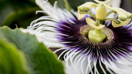 White and Purple Passion Flower