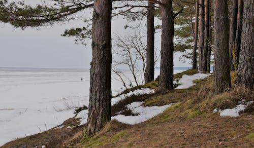 Kostenloses Stock Foto zu baum, kalt, kiefern, schnee