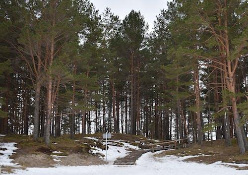 Kostenloses Stock Foto zu grüne bäume, in den wald, kiefern, schnee