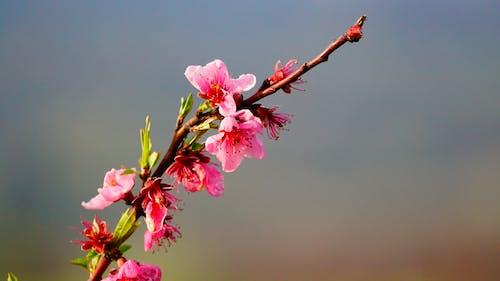 Kostenloses Stock Foto zu frühlingsblume, μοουκέτο λολλούδια, ροζ λολλούδι, όμορφα λολλούδια