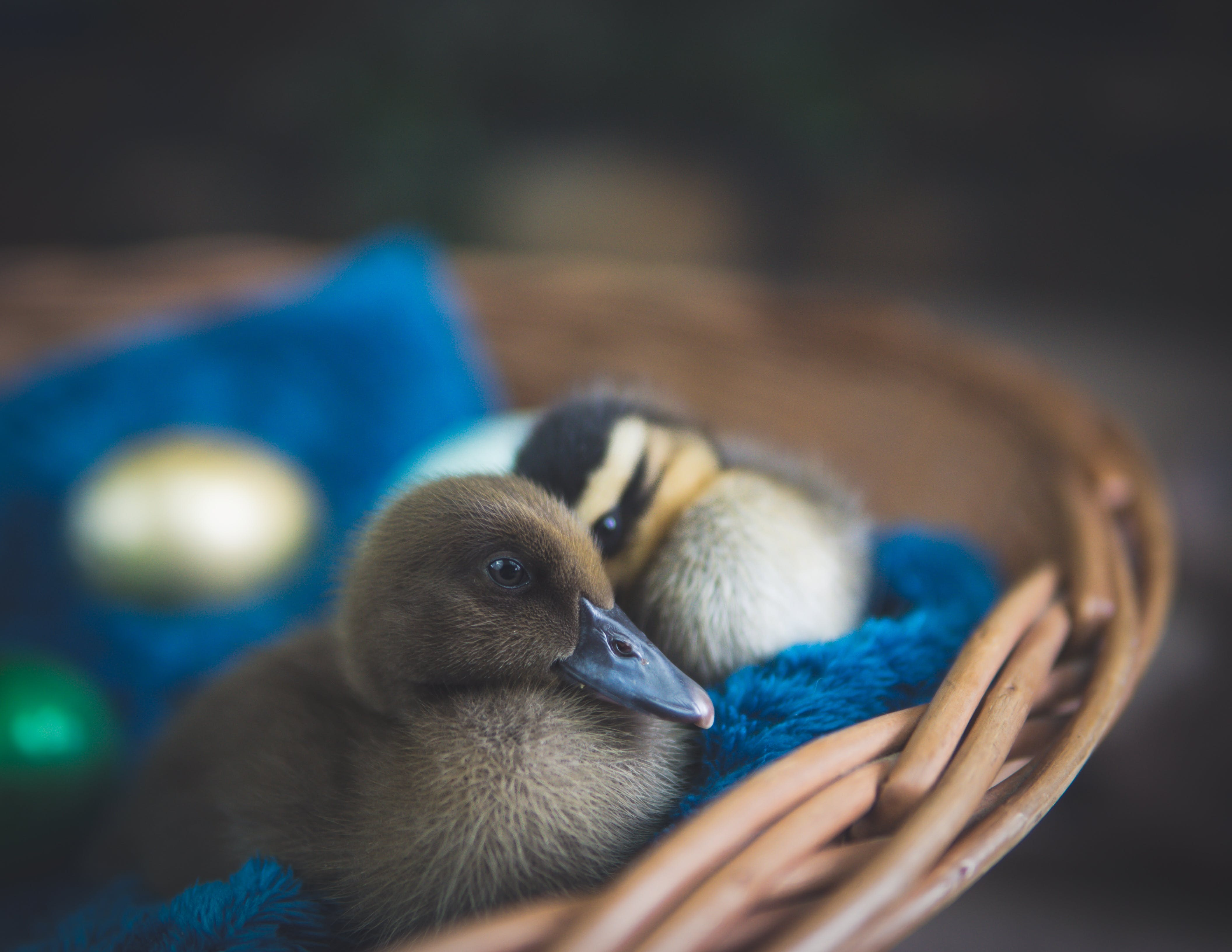Two Brown Ducklings on Brown Wicker Nest