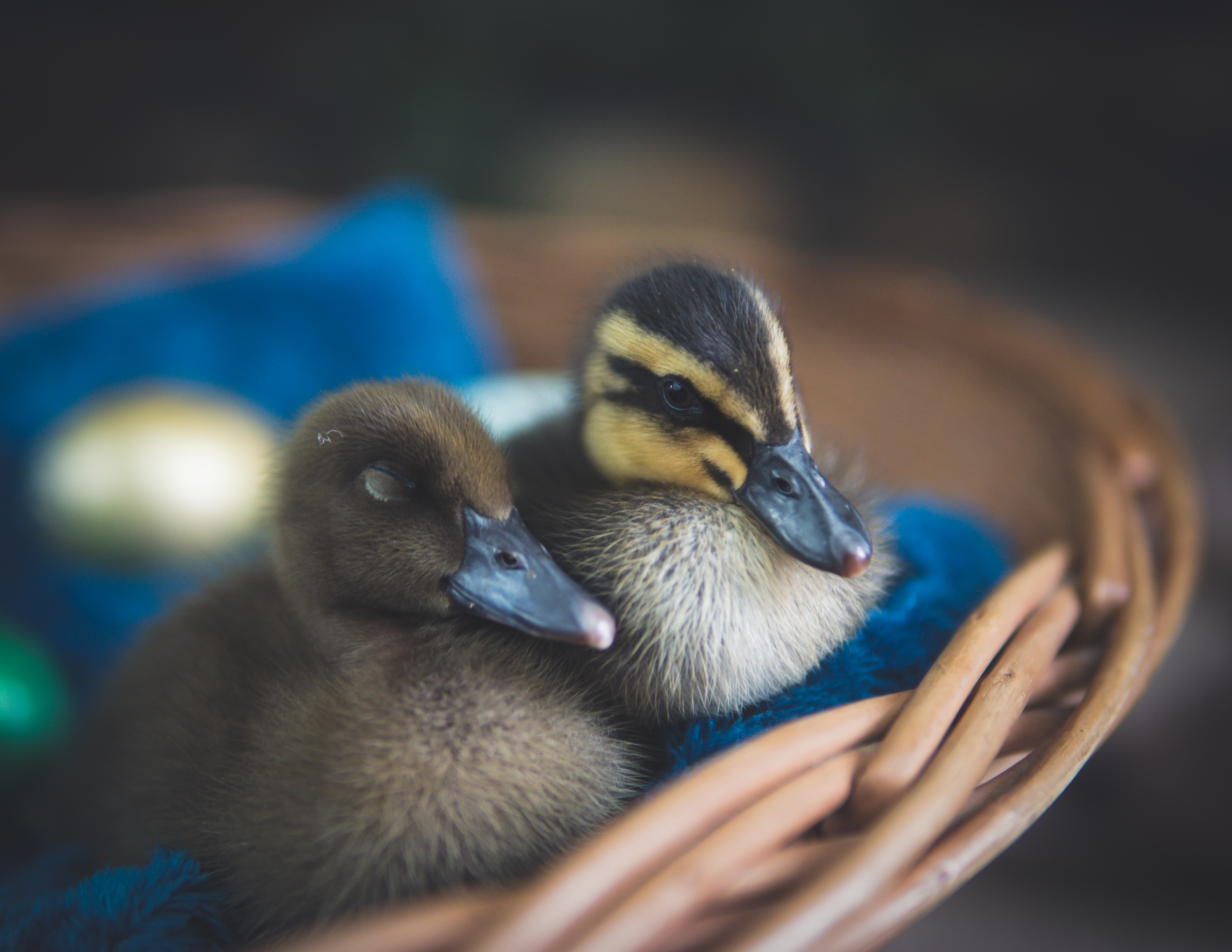 Close-Up Photography of Ducks