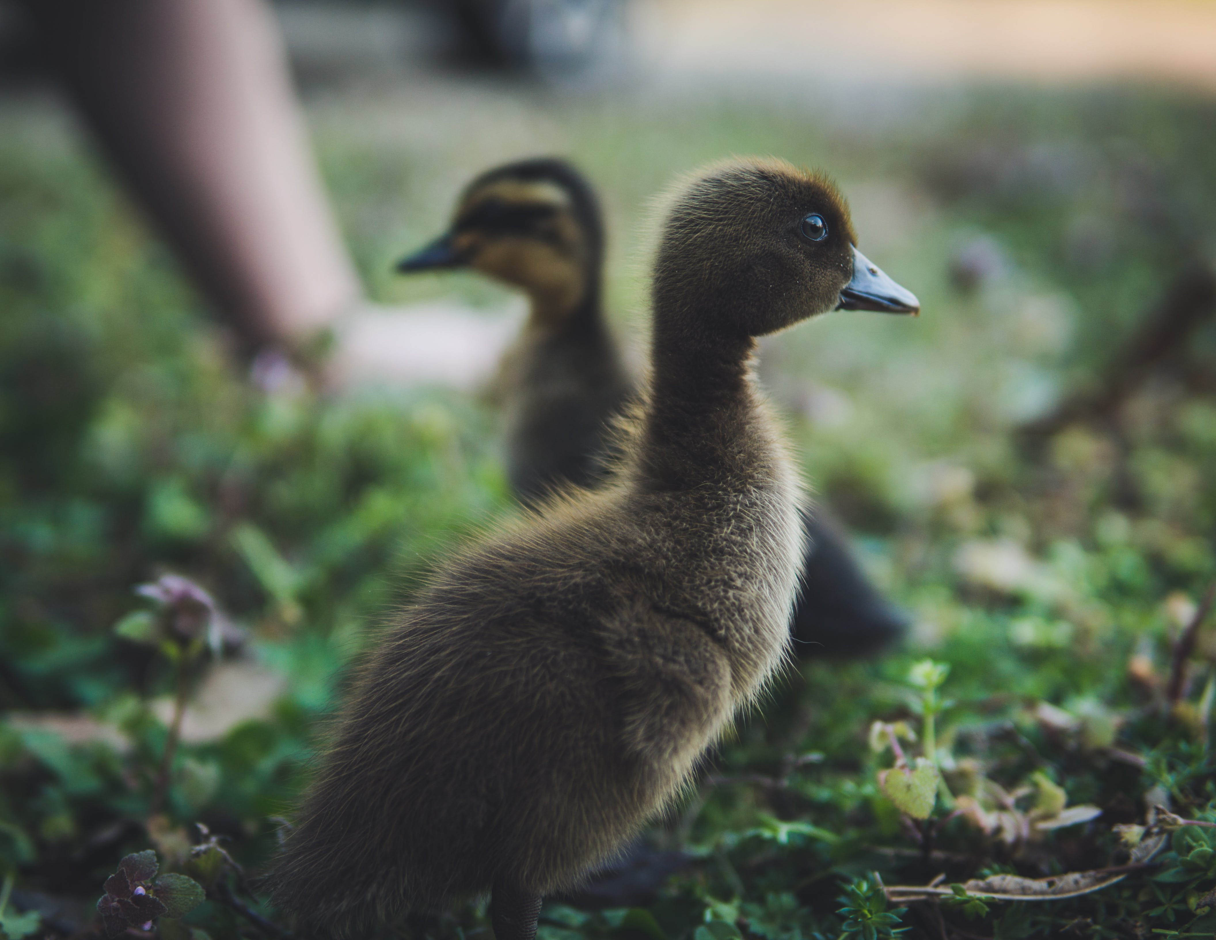 Selective Focus Photography of Ducks