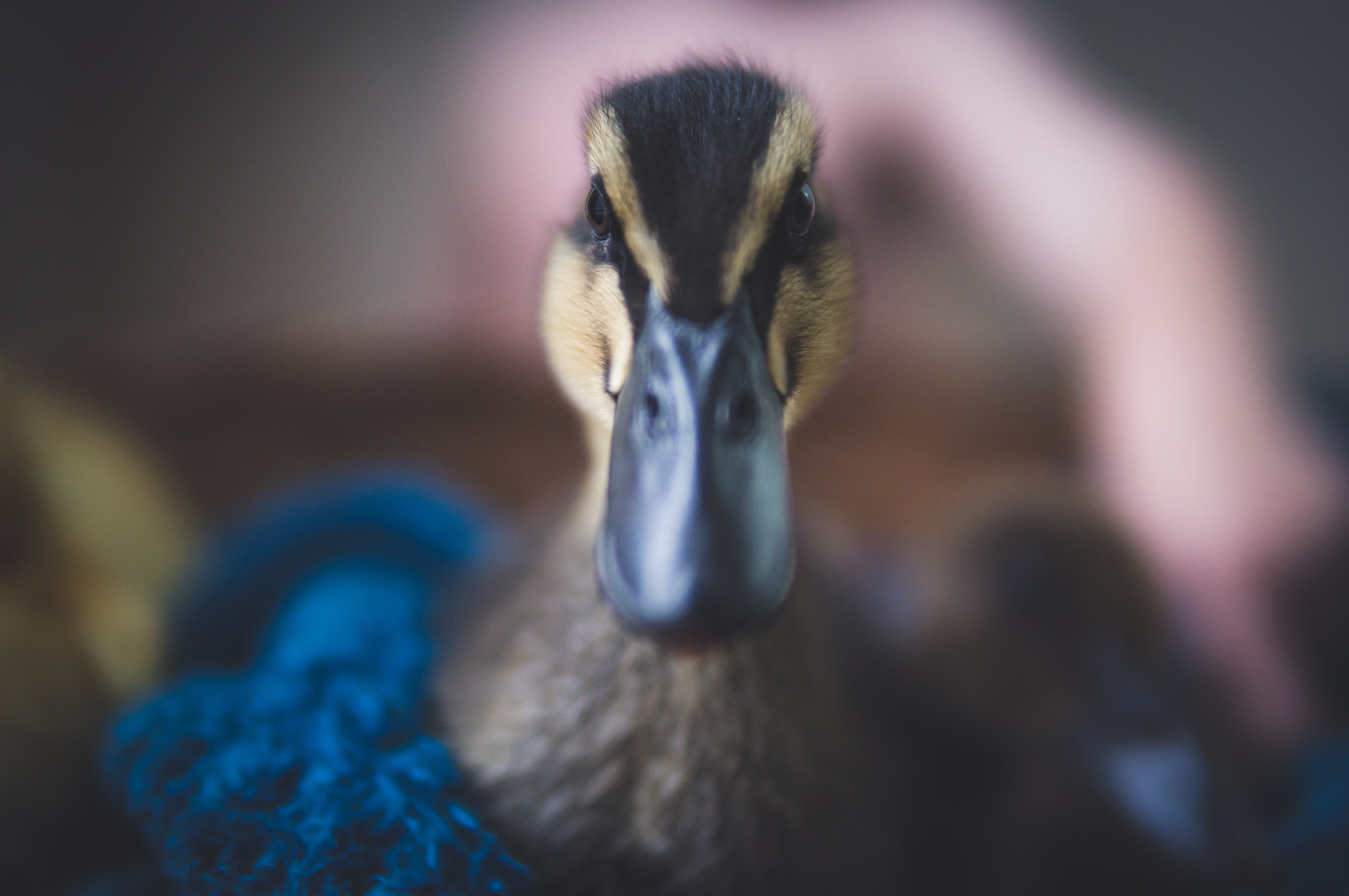 Close-Up Photography of Black Duck