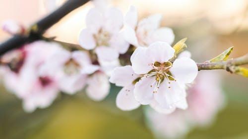 คลังภาพถ่ายฟรี ของ กลีบดอก, การเจริญเติบโต, กำลังบาน, กิ่ง