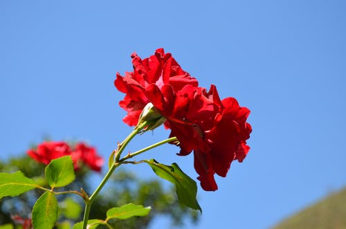 Free stock photo of beautiful flowers, flower, red rose