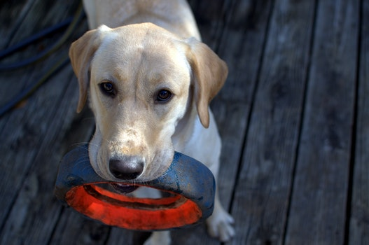 Fawn Labrador Retriever With Black Ring in Mouth