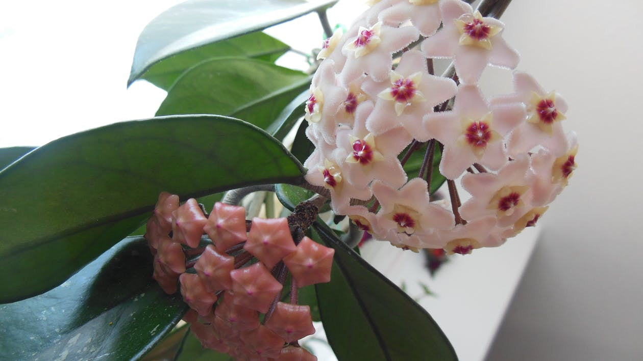 Hoya plant in bloom