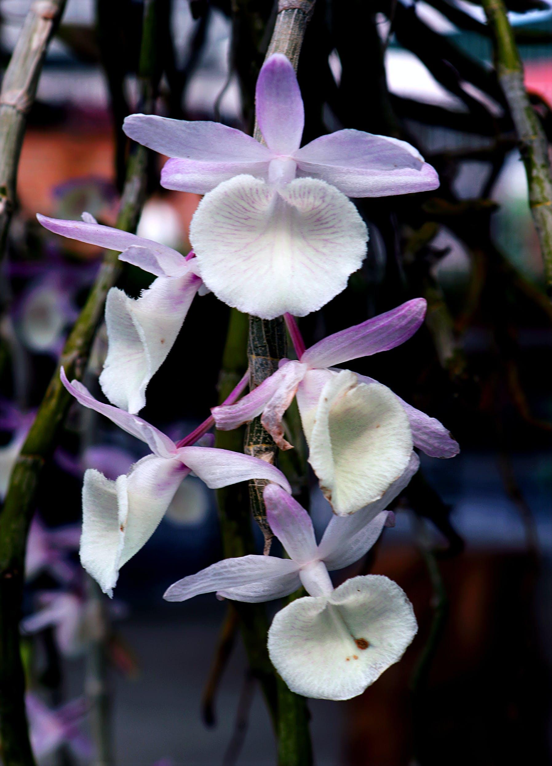 Kostenloses Stock Foto zu blumen, lila, blütenblätter, weiß