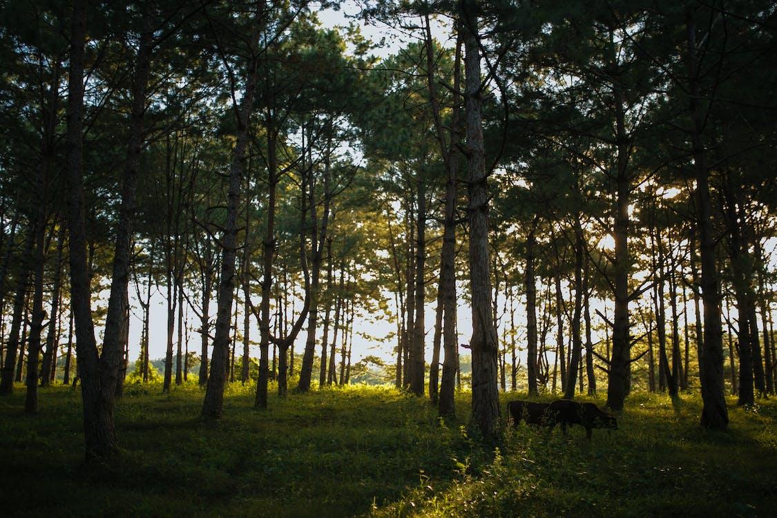 випас, вічнозелений, гілки дерев