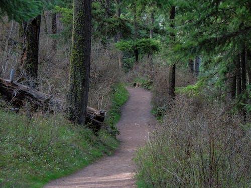 Ingyenes stockfotó erdő, fenyőfák, ösvény, zöld témában