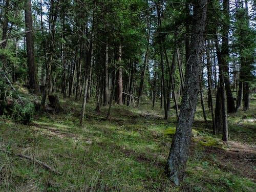 Ingyenes stockfotó ég, erdő, fenyőfák témában