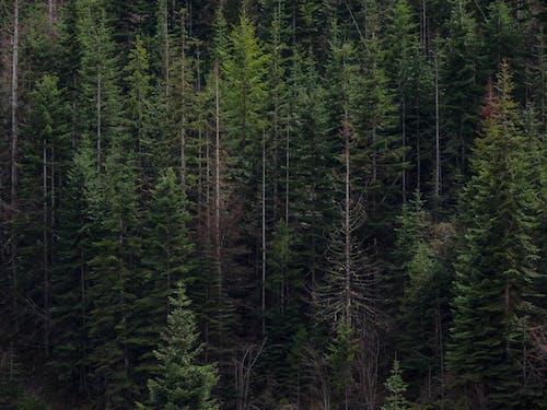 Ingyenes stockfotó fák, fenyőfa, vonal, zöld témában
