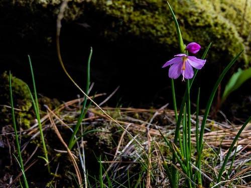 Ingyenes stockfotó ívelt, lila virág, moha, Mohás sziklák témában