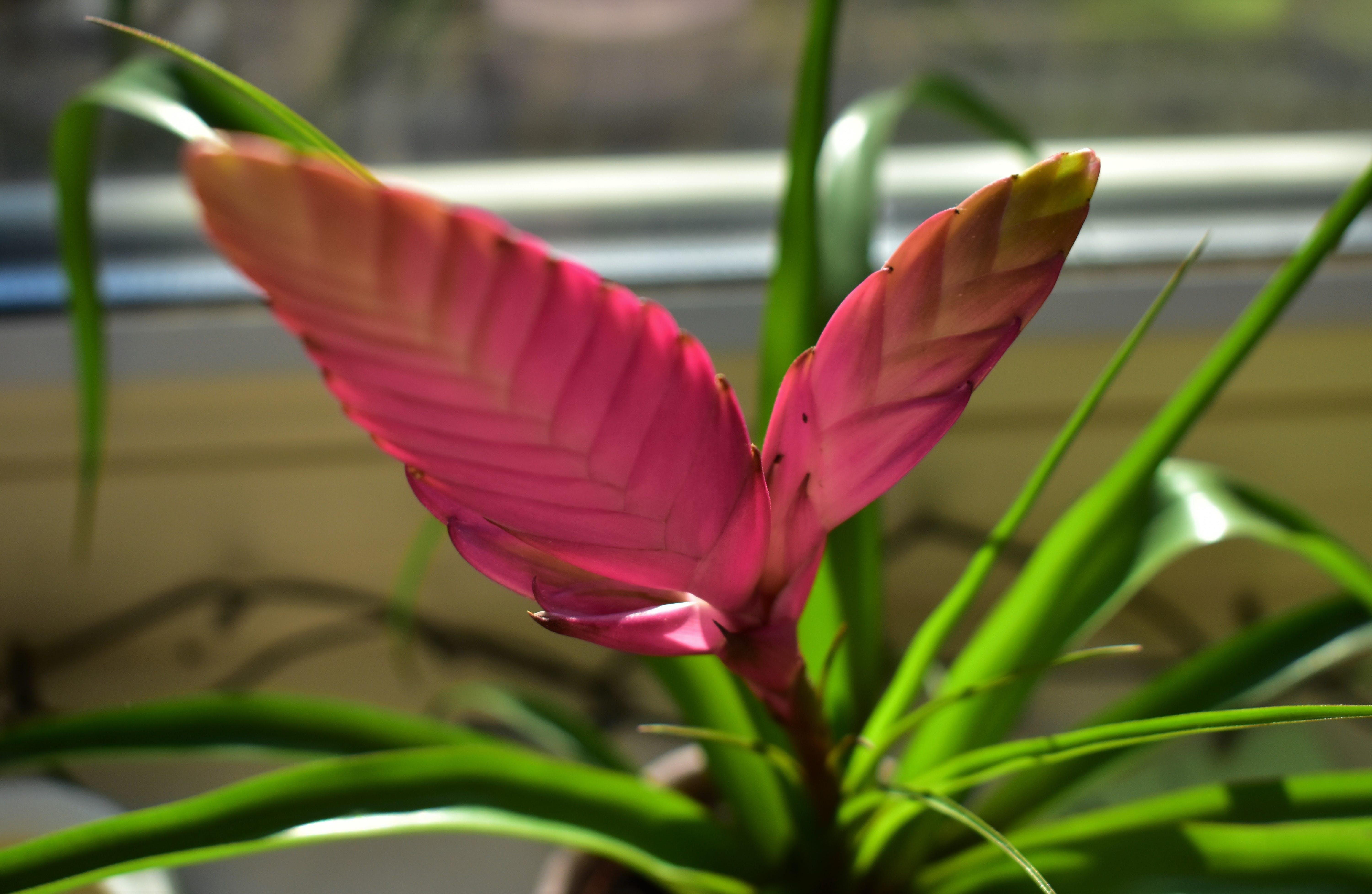 Free stock photo of beautiful flowers, devil flower, flower, pink flower