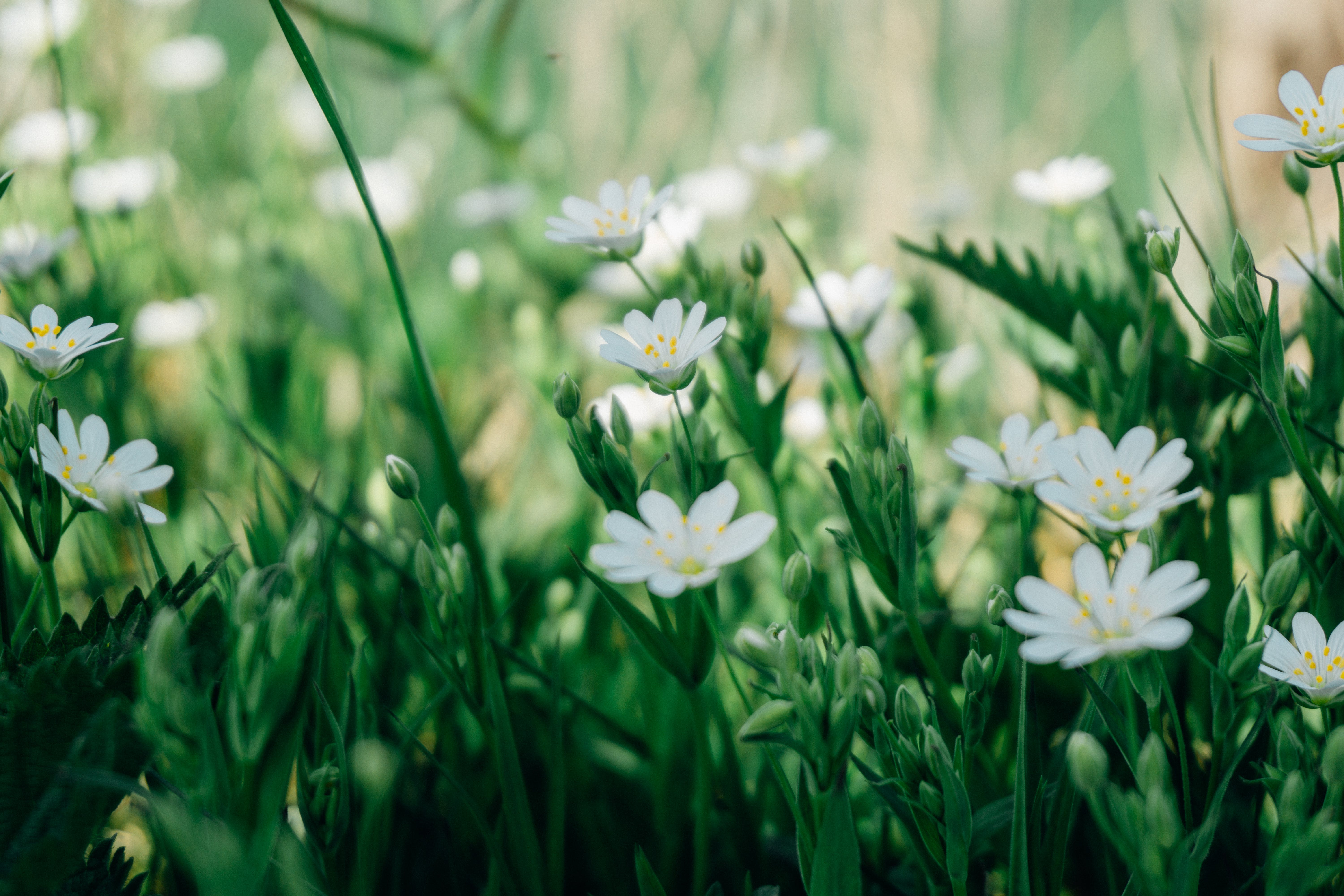 Selective Focus Photography of White Marguerite Daisy Flower