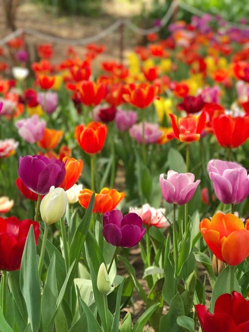 Бесплатное стоковое фото с тюльпаны, флора, цвести, цветение