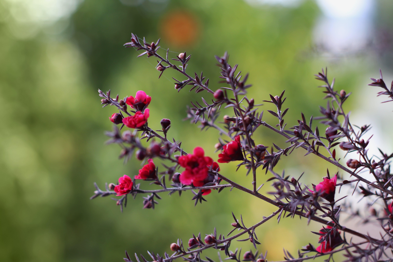 Free stock photo of beautiful flowers, flower garden, garden, redflower