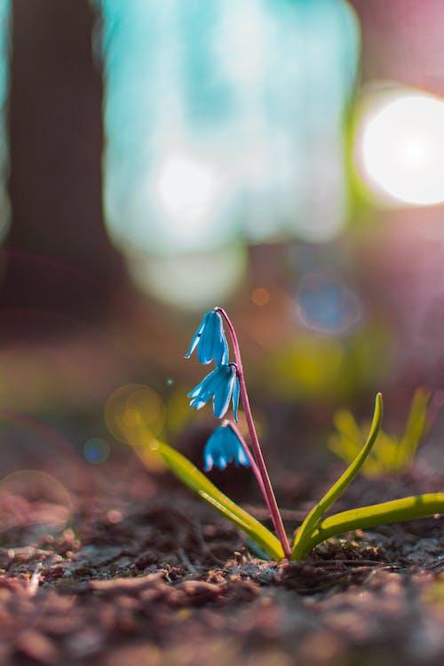 Gratis stockfoto met blauw, bloemen, bloesem, bodem