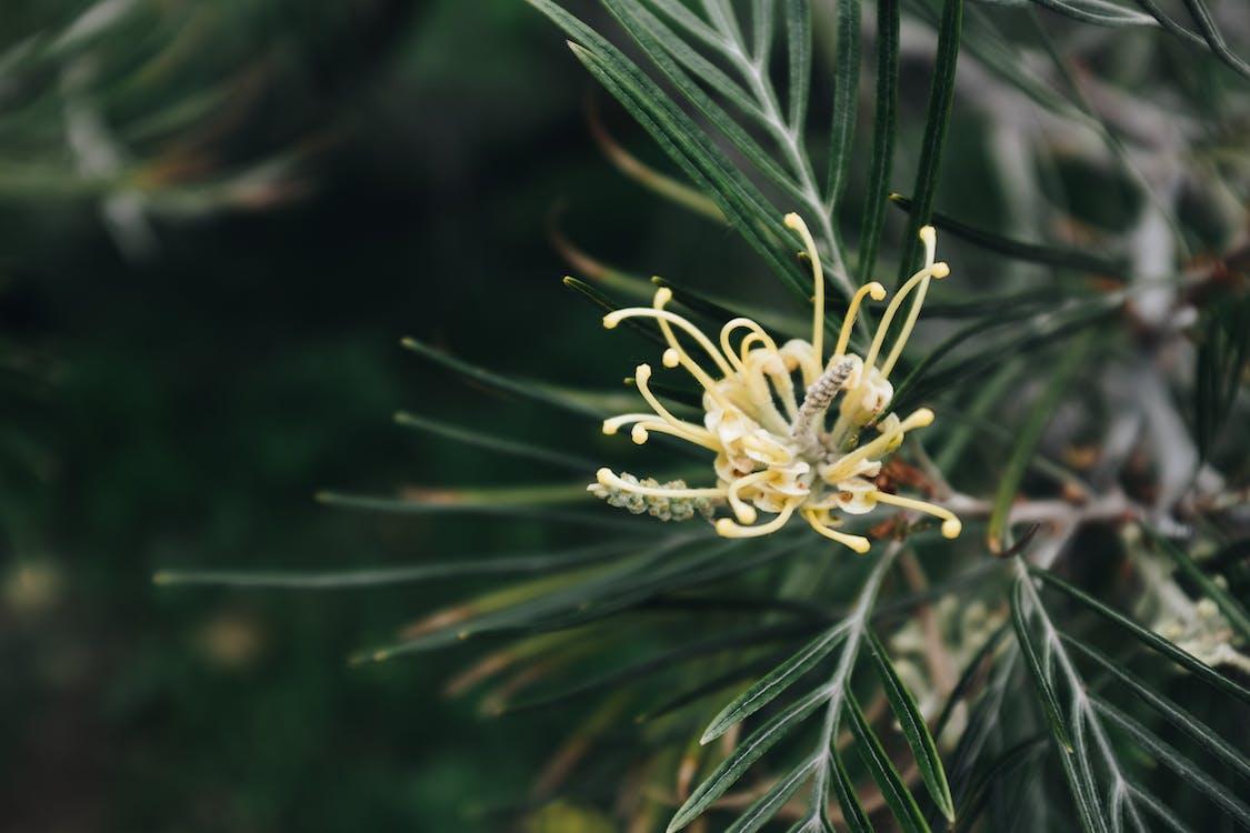 à feuilles persistantes, arbre, conifère
