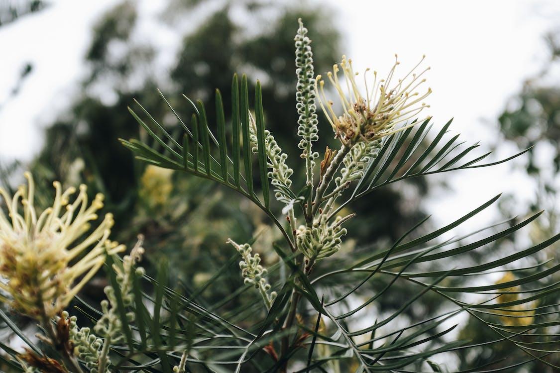 ветвь, вечнозеленый, дерево