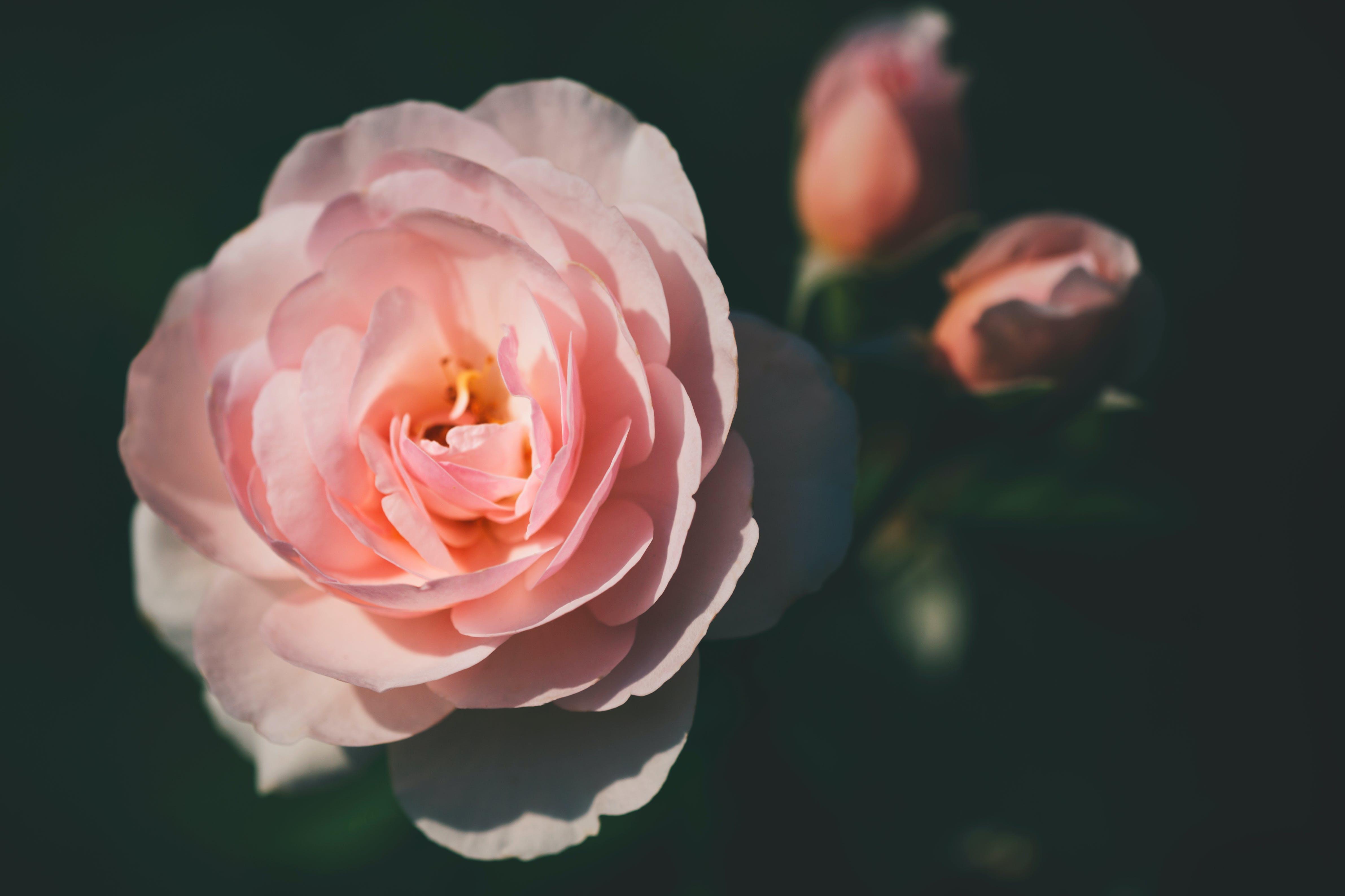 つぼみ, バラの花, ボタニカル