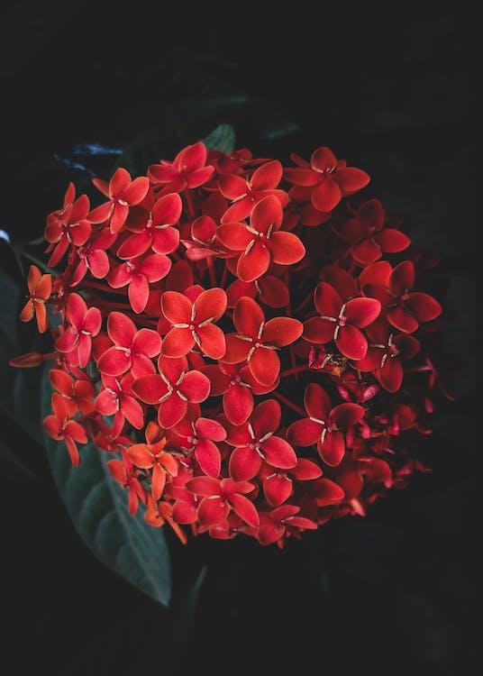 дизайн, красные цветы, лепесток