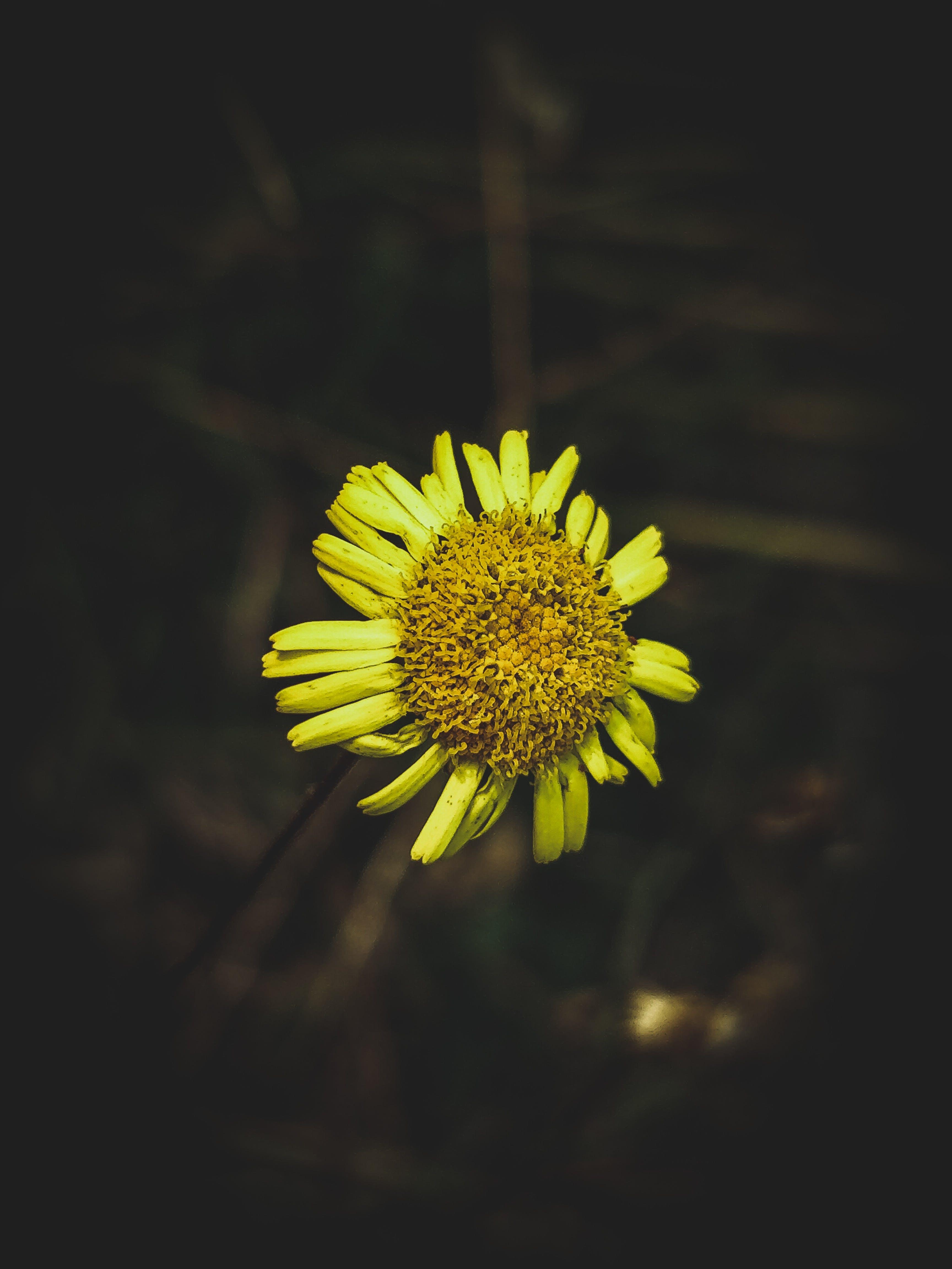 Free stock photo of sun flower, yellow