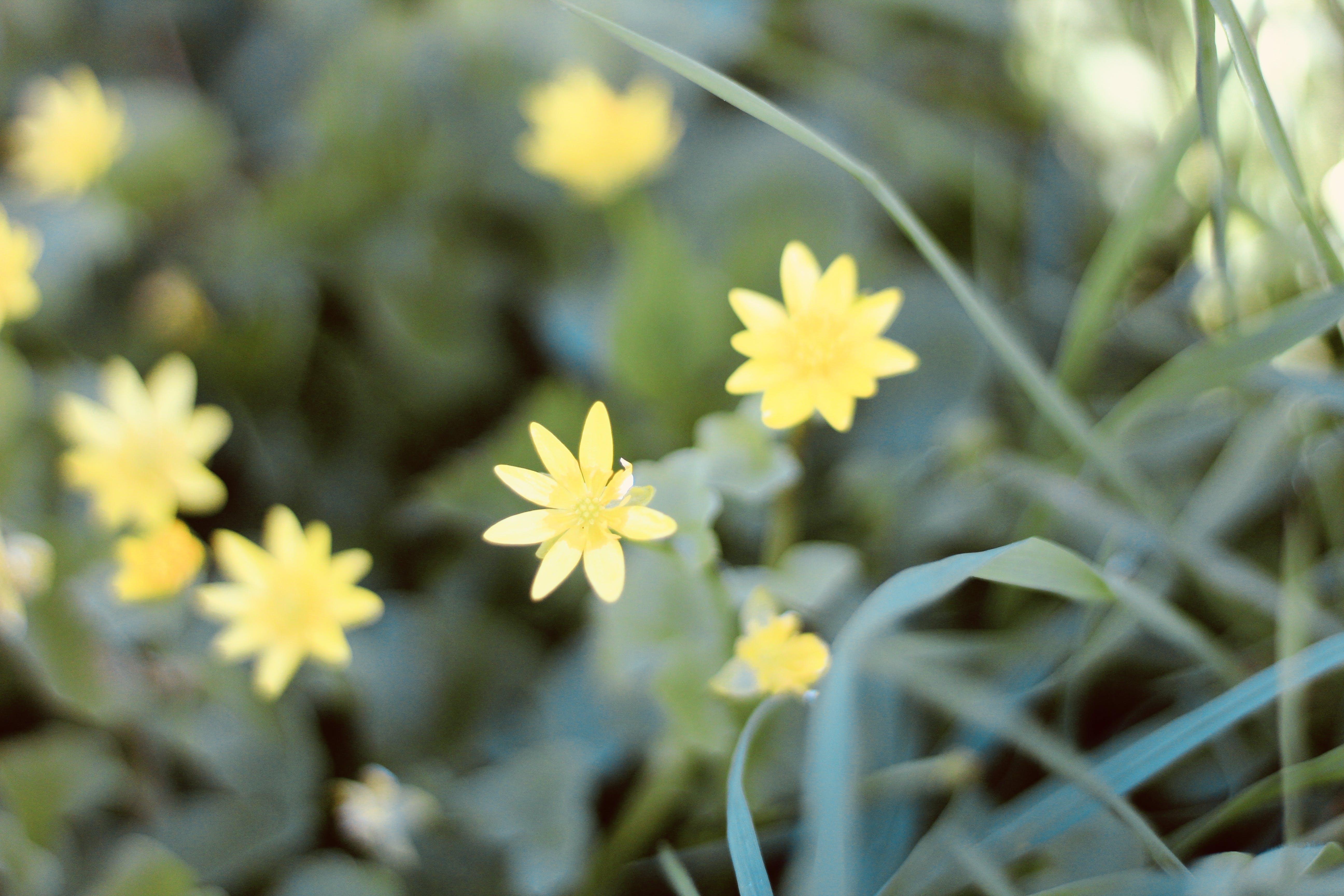 Kostenloses Stock Foto zu blume, gelb