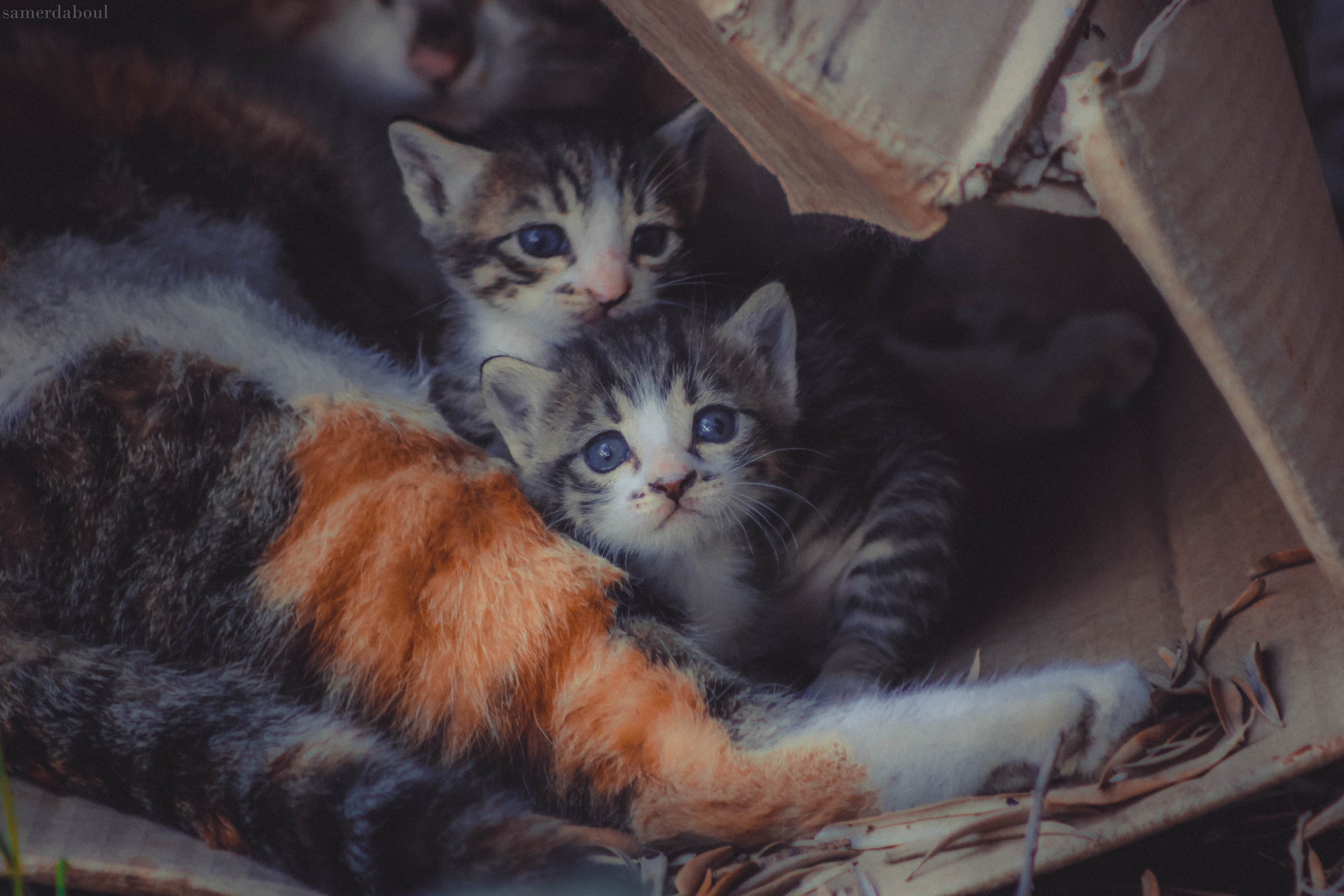 Free stock photo of animal, big cat, cat, cat's eyes