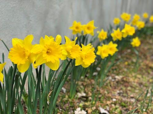 Foto profissional grátis de flor amarela, flores, flores amarelas