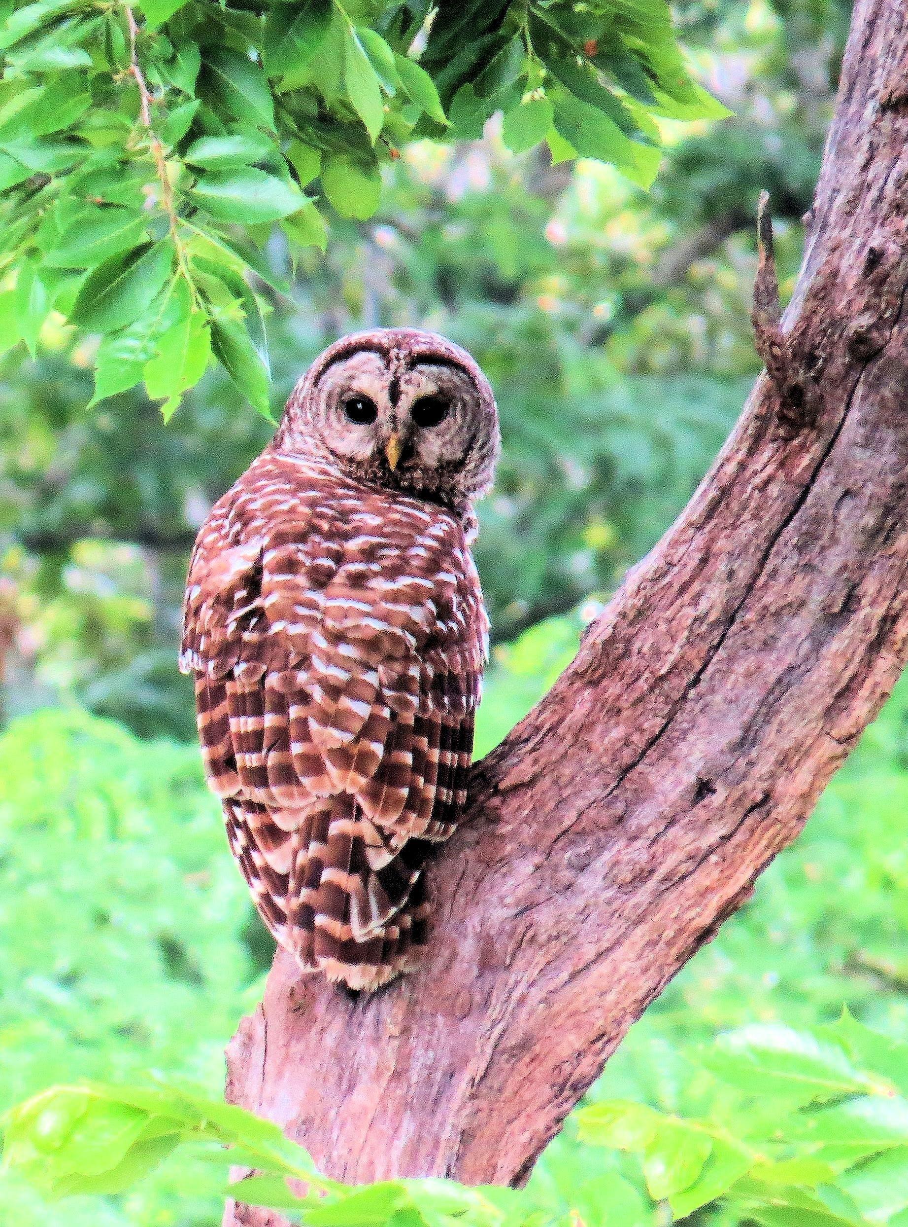 Free stock photo of staring, bird of prey, owls, missouri