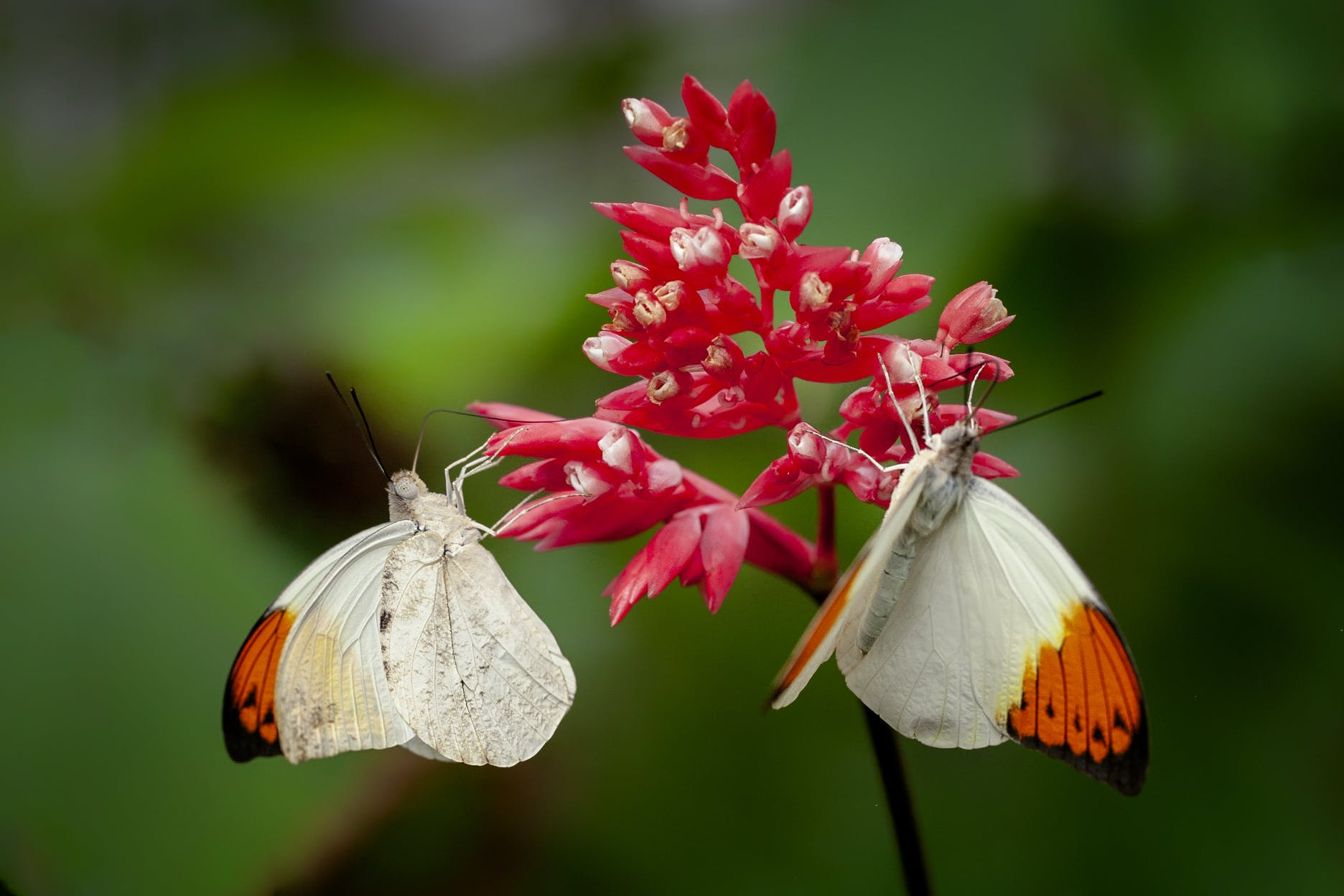 Free stock photo of butterfly, flower, insects, orange tip