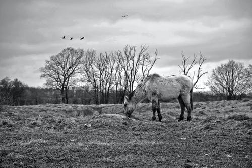 Free stock photo of black amp white, bronco, horse