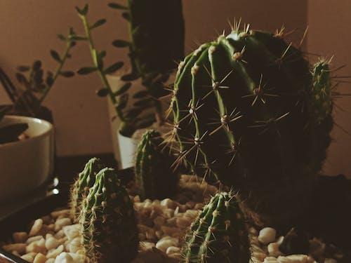 Безкоштовне стокове фото на тему «завод, зелений, кактус, каміння»