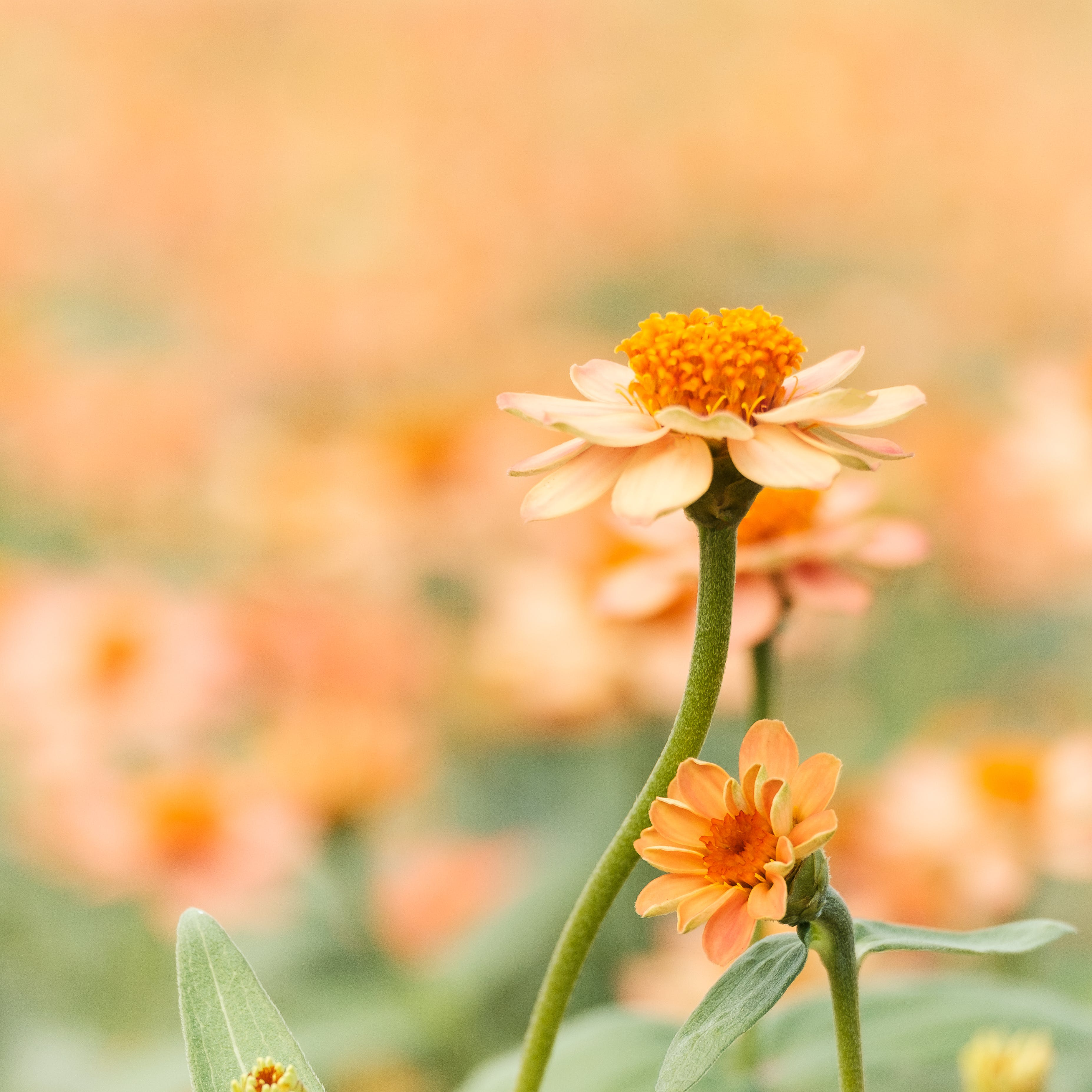Shallow Focus Photography of White Daisy