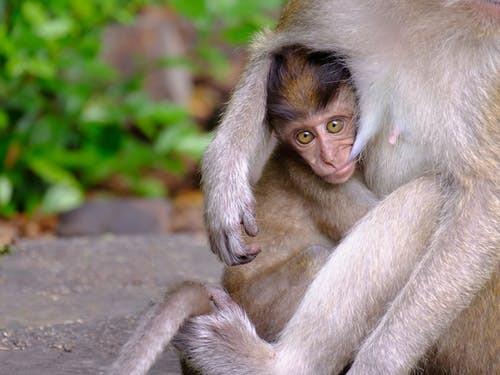Free stock photo of animal, ape, asia, baby