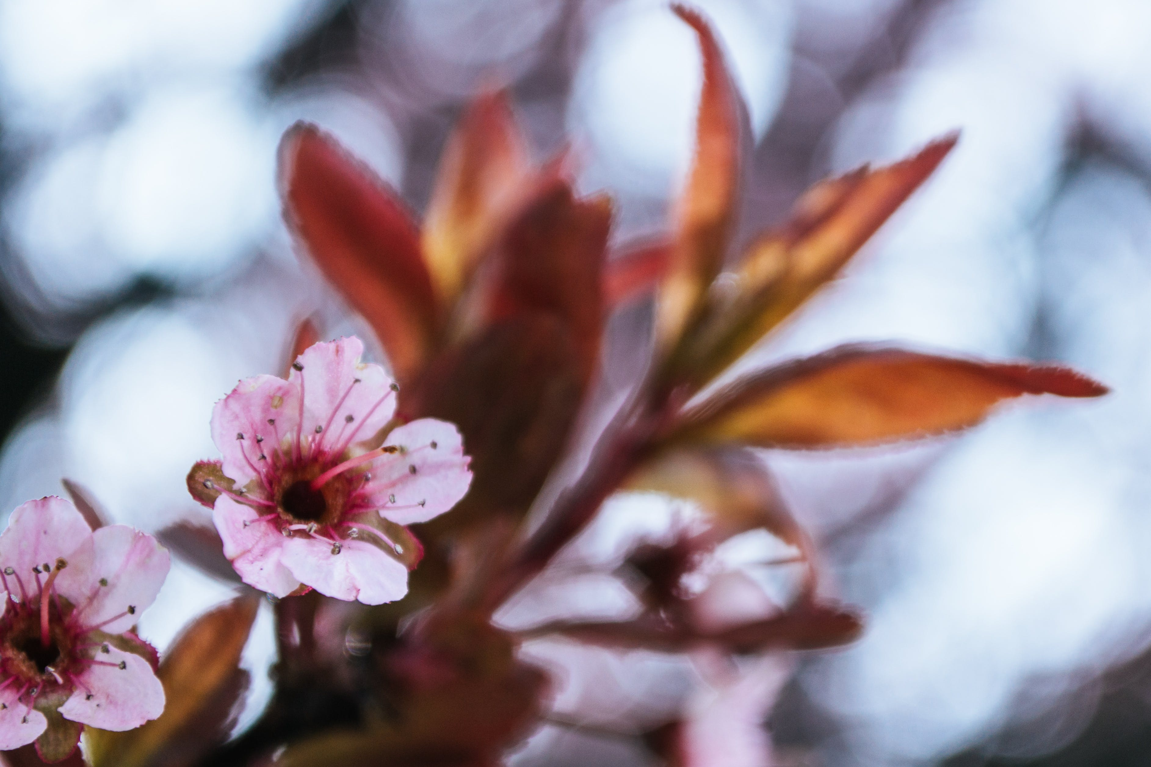 Photo of Bloomed Pink Cherry Blossom