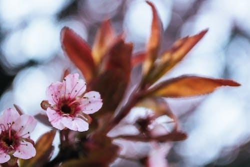 Δωρεάν στοκ φωτογραφιών με ανάπτυξη, άνθη κερασιάς, ανθίζω, ανθισμένος