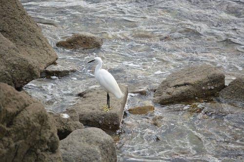 Darmowe zdjęcie z galerii z długi bec, eau, egreta, faune