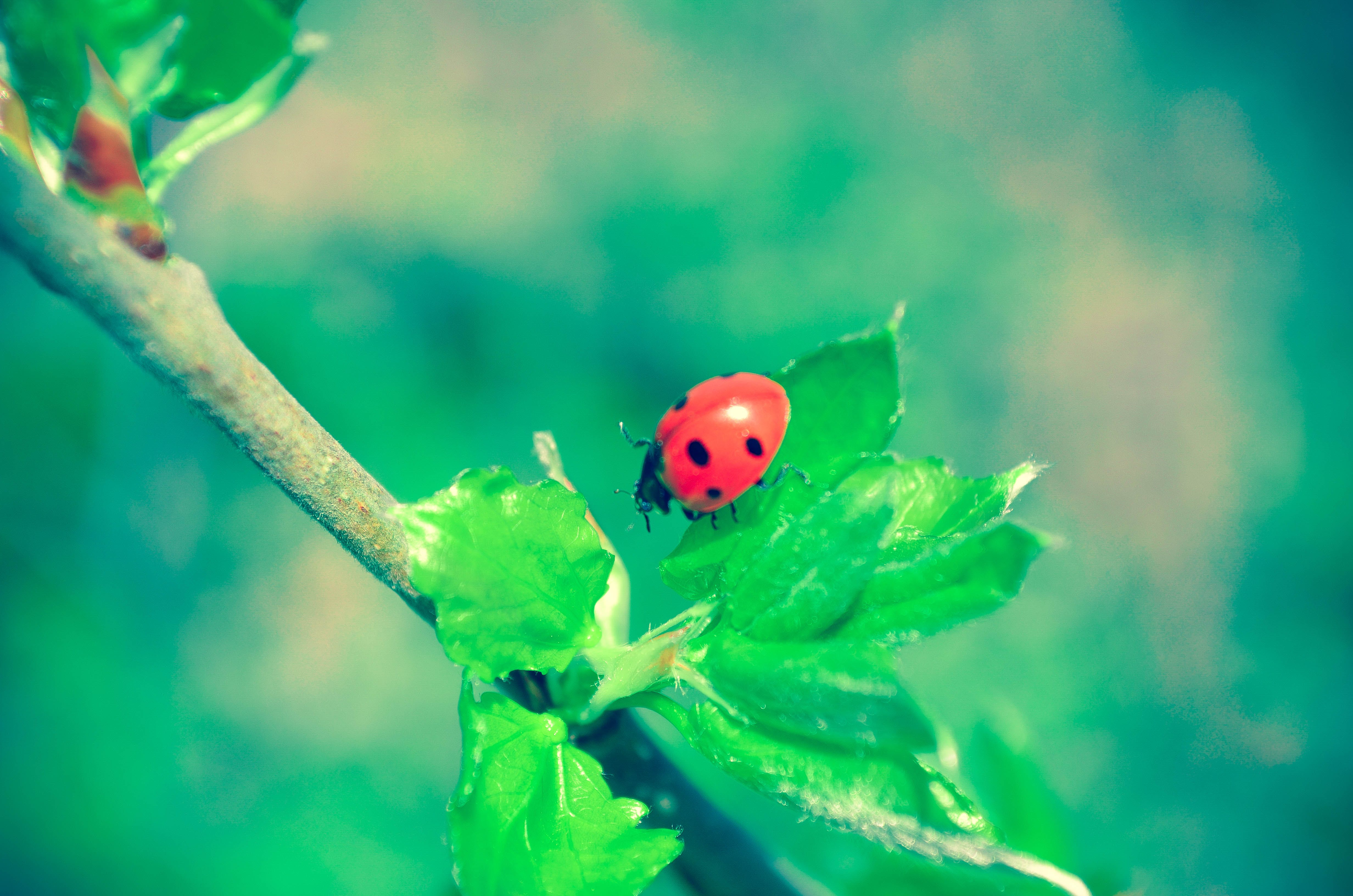 Free stock photo of branch, ladybug