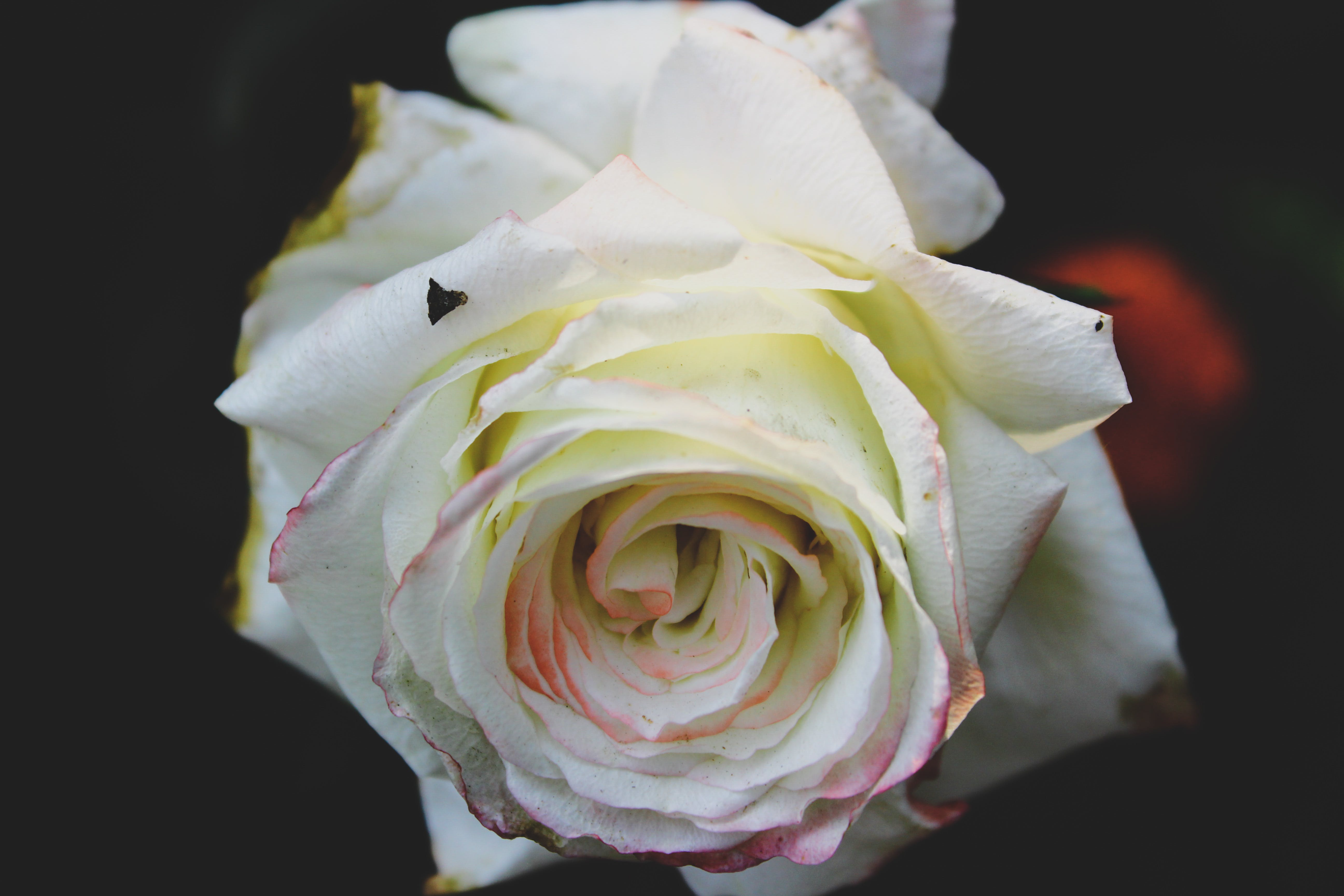 Closeup Photo of White Rose Flower